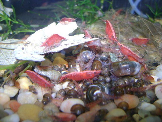50+ RED CHERRY SHRIMP FRESHWATER AQUARIUM LIVE FISH PLANTED TANK LARGE