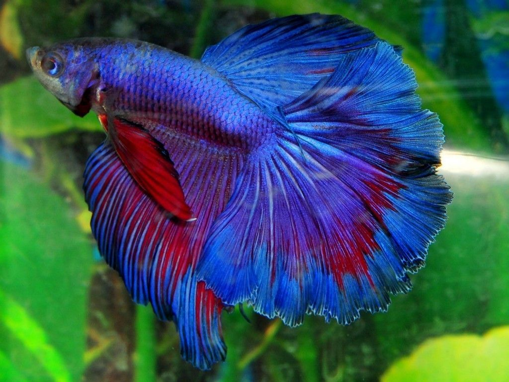 Blue halfmoon betta fish - photo#15