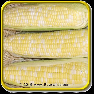 Lb   Xtra Tender 2170   Bulk Bi Color Hybrid Sweet Corn Seeds